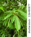 Small photo of This American chestnut (Castanea dentata) is in full bloom in early summer.
