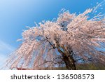 weeping cherry tree | Shutterstock . vector #136508573