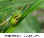 Tree Frog Is Hiddind In The...