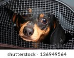 Shorthair Dachshund Puppy Peering from within Damaged Crate - stock photo