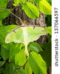 Small photo of A Luna Moth (Actias luna) branch in the sun