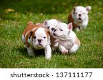 Stock photo english bulldog puppies playing outdoors 137111177