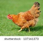 Brown Open Range Chicken In...
