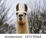 A portrait of a llama - stock photo