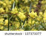 Small photo of Beautiful fluffy fragrant West Australian wattle acacia retinodes blooming in autumn adding color and food for native bird species.