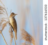 Small photo of Eurasian reed warbler, Acrocephalus scirpaceus, in reed natural environment, under warm evening light
