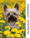 Yorkshire Terrier portrait on blooming dandelion meadow - stock photo