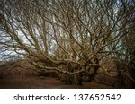 Ancient lone   tree  sculpted by the nature, - stock photo