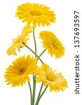 Stock photo studio shot of yellow colored calendula flowers isolated on white background large depth of field 137693597