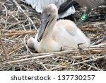Baby Pelican