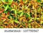 Syzygium Australe Plant ...