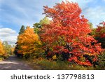 Vivid Red Maple Tree Stands...