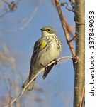 Small photo of American Yellow Warbler
