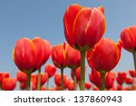 Close Up Of Red Orange Tulip...