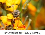 Honey Bee Working In The...