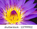 Water Lily Closeup