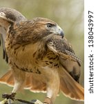 A Red Tailed Hawk Spreads His...