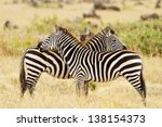 Zebras On The Masai Mara In...