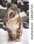Snow Leopard Yawn Sitting On...