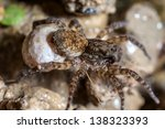 A Female Wolf Spider Carries...