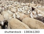 Herd Of Pashmina Sheep And...
