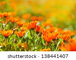 Marigold Flowers In The Meadow...