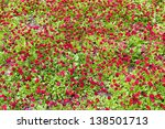 blossoming magenta daisy flowers on green background - stock photo
