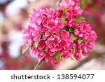 spring blossoms on pink... | Shutterstock . vector #138594077