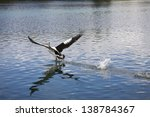 australian pelican lifting off... | Shutterstock . vector #138784367