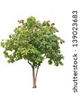 Small photo of African Tulip tree (Spathodea campanulata) on white background