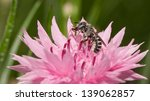Small photo of Black and white Anthophora urbana bee pollinating a pink Cornflower in spring