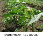 young growing tomato plants in... | Shutterstock . vector #139109987