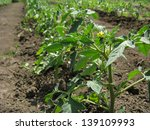 young growing tomato plants in... | Shutterstock . vector #139109993