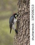 Small photo of Acorn Woodpecker drills into an alligator juniper tree.