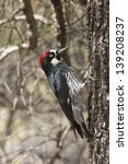 Small photo of Acorn Woodpecker on alligator juniper tree.