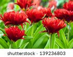 Tulip  Double Toronto