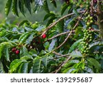 Coffee Plant With Berries....