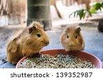 Two Cute Guinea Pigs Are Havin...
