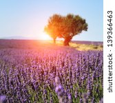 lavender field. the plateau of ...   Shutterstock . vector #139366463