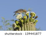 Gila Woodpecker And Bees On...