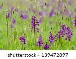 Green Winged Orchids   Orchis...
