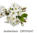branch of cherry blossoms...   Shutterstock . vector #139576247