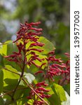 Small photo of Red Buckeye Aesculus pavia Wildflowers