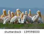 group of great white pelicans... | Shutterstock . vector #139598033
