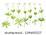flowering woodruff  galium... | Shutterstock . vector #139605227