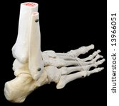 A highly detailed articulated model of a human foot, with all the bones represented, from the toes to just past the ankle. - stock photo