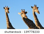Giraffe   Wildlife From Africa...
