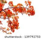 Orange Peacock Flowers On...