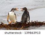 Gentoo Penguins Fighting