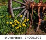Small photo of The Mountain Dandelion, Agoseris glauca, surrounding a rusted wagon wheel